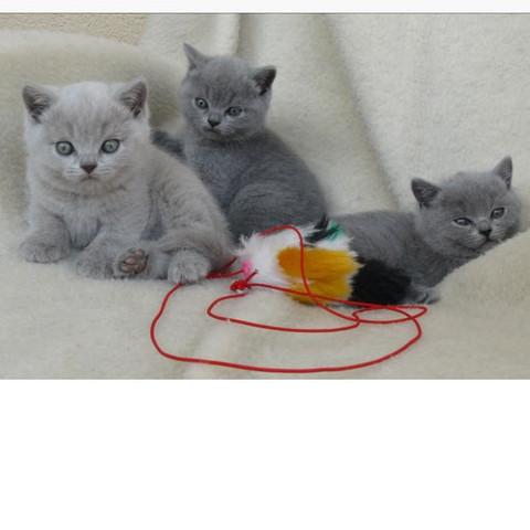 Das sind die Katzen - (Katze, Google, Rasse)