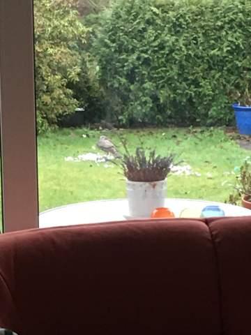 Welcher Raubvogel hat bei uns im Garten eine Taube geschlagen?