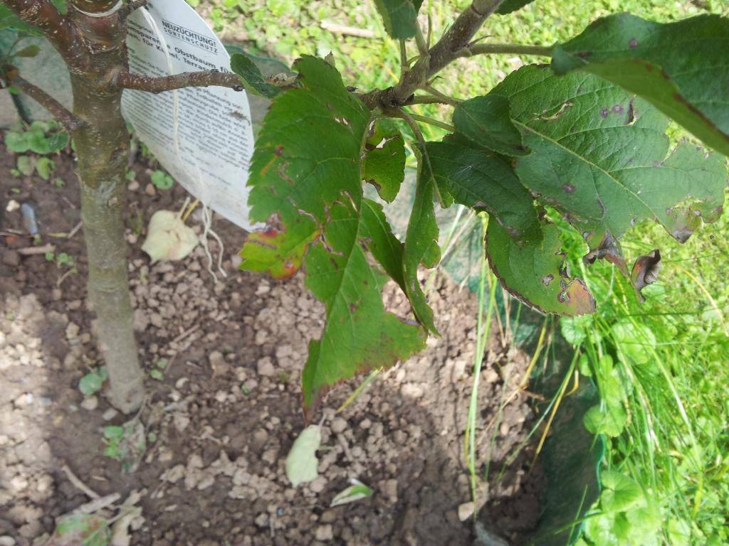 welcher sch dling bef llt meinen apfelbaum garten pflanzen obst. Black Bedroom Furniture Sets. Home Design Ideas