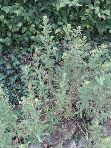 - (pflanzenschädlinge, natürliche Schädlingsbekämpfung, Schädlingsbekämpfung Garten)
