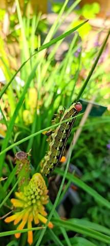 Welcher Schmetterling entwickelt sich aus dieser Raupe?
