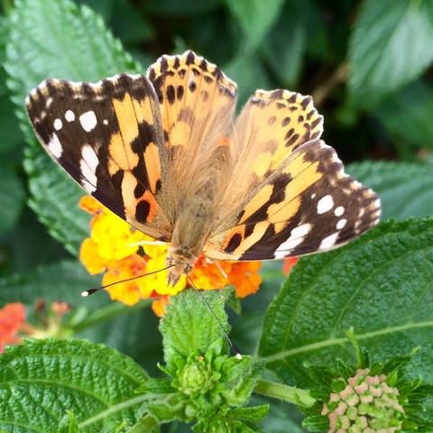 Schmetterling auf dem Wandelröschen, Anfang August - (Balkon, Schmetterling, Terrasse)