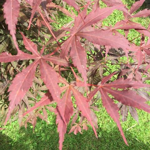 Fächerahorn - (Acer, Ahorn, Fächerahorn)
