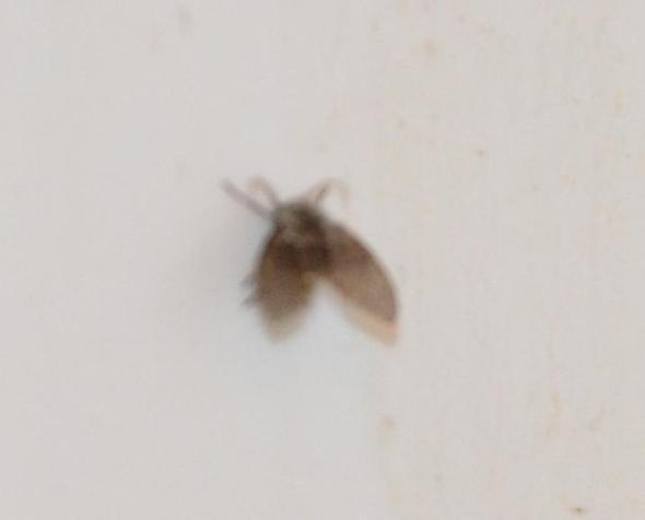 welches fliegende ungeziefer ist das in meiner wohnung insekten sch dlinge. Black Bedroom Furniture Sets. Home Design Ideas