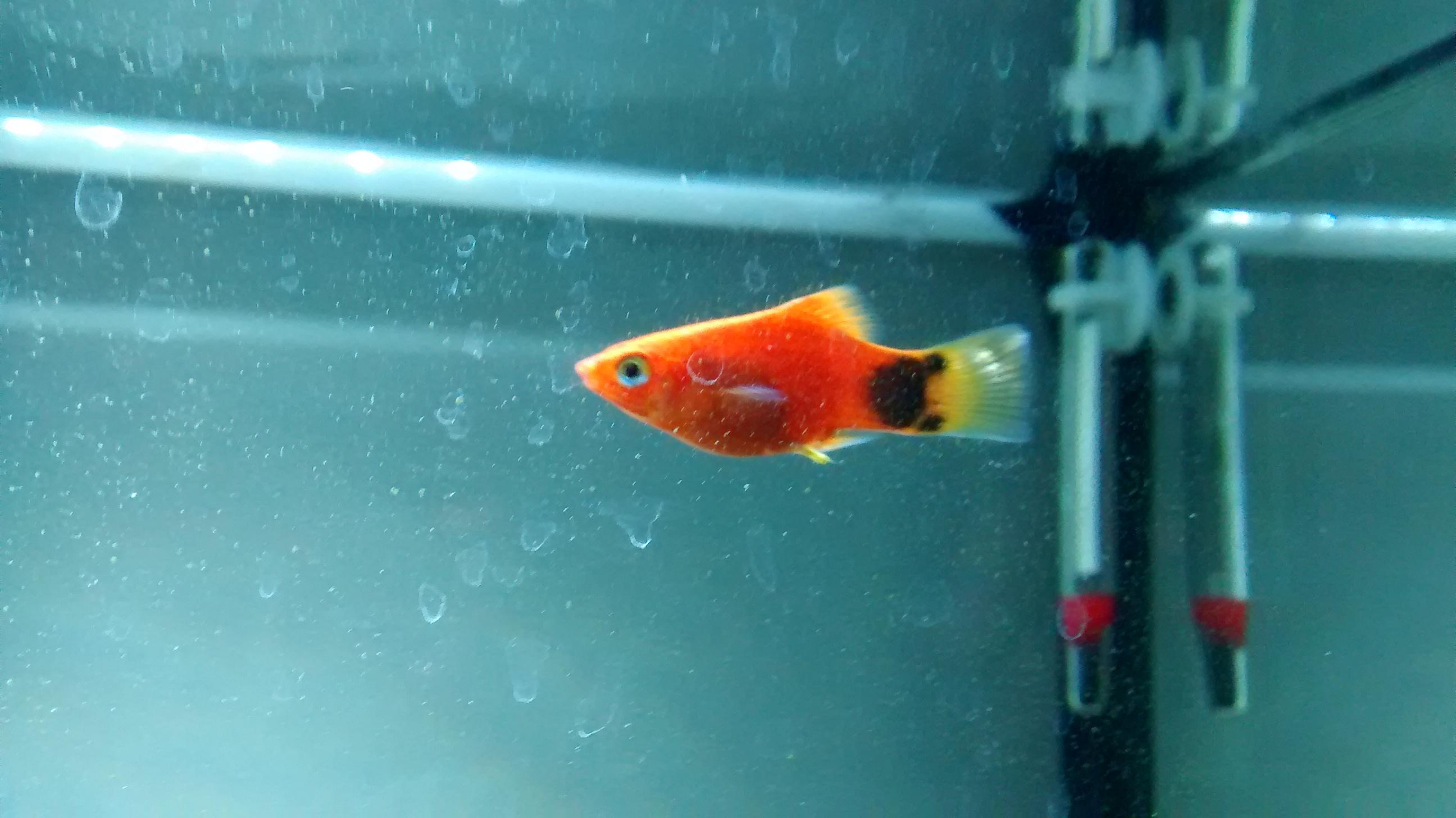 welches geschlecht hat dieser fisch platy fische aquarium aquariumfische. Black Bedroom Furniture Sets. Home Design Ideas