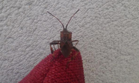 welches insekt ist das kakerlake insekten kakerlaken. Black Bedroom Furniture Sets. Home Design Ideas