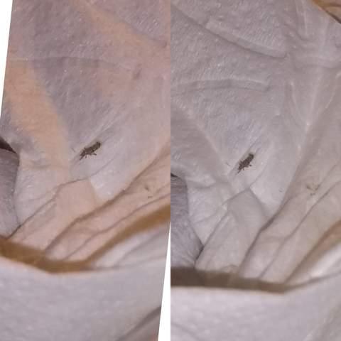 Welches Insekt/Ungeziefer ist das? (Tiere, Natur, Insekten)
