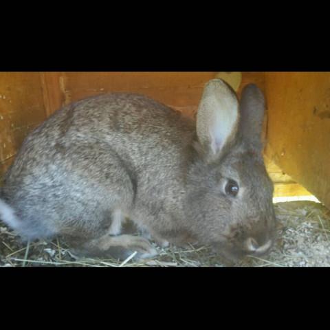Diese Kaninchen welche rasse :)? - (Kaninchen, Rasse)
