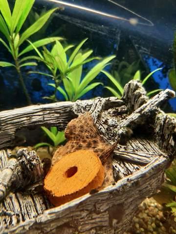 Welches Laub für Amanogarnelen?