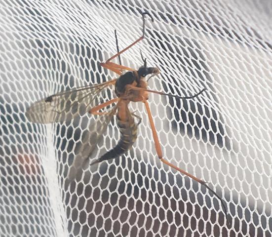 Welches Tier ist das? Mücke, Orange groß?