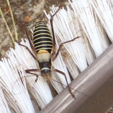 Vorgefunden in Frankreich in einem Kiefer oder Pinienwald. Ca. 10 cm groß. - (Tiere, Frankreich, Insekten)