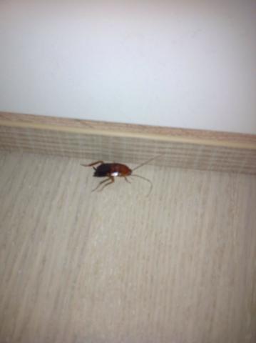 ??? - (Insekten, Schabe)