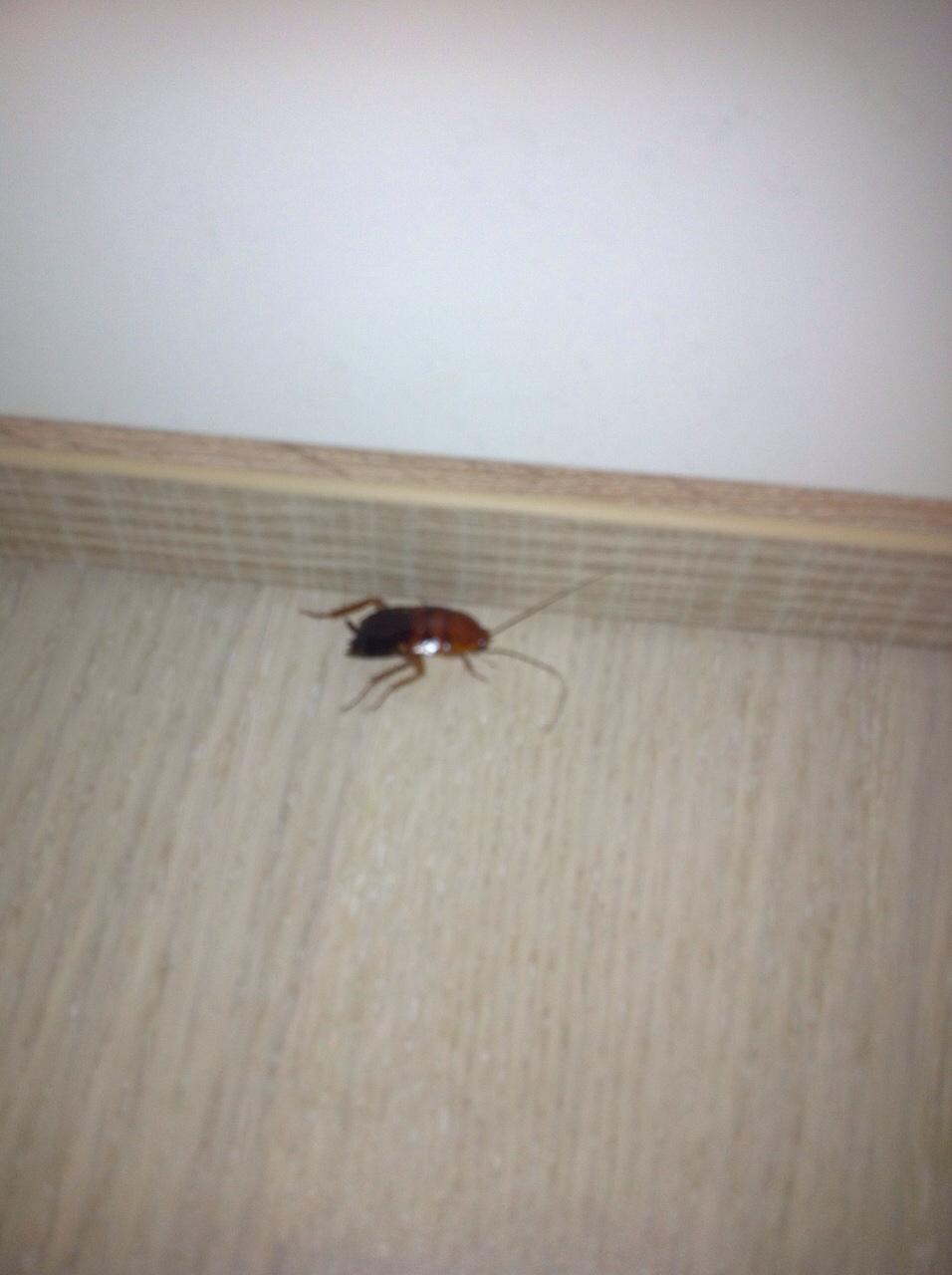 welches vieh insekt insekten schabe. Black Bedroom Furniture Sets. Home Design Ideas