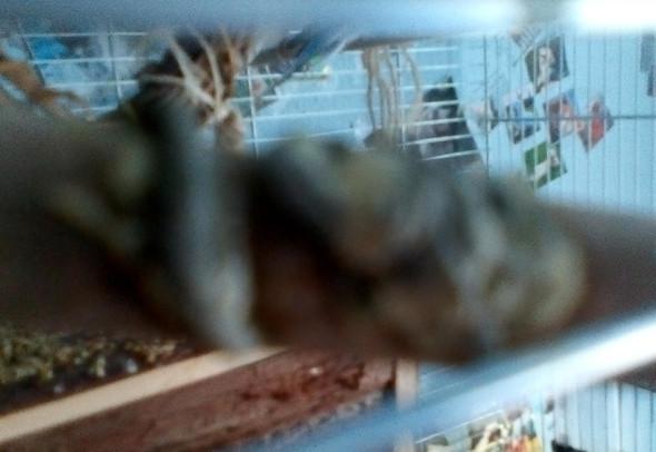 Das ist der Kot, sorry für die schlechte Qualität  - (Vögel, Wellensittich, Kot)