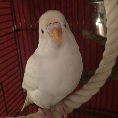Wellensittich - (Vögel, Wellensittich, weiß)