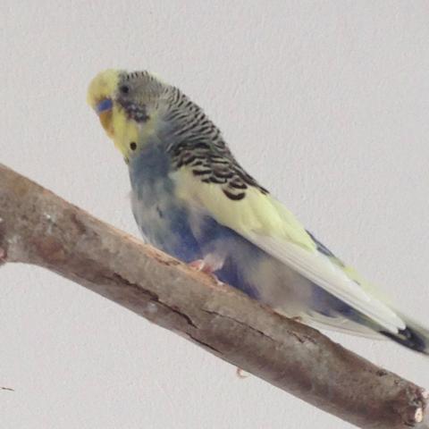 Bild 1 - (Vögel, Wellensittich, Sittiche)