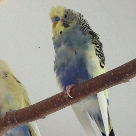 Bild 3 - (Vögel, Wellensittich, Sittiche)