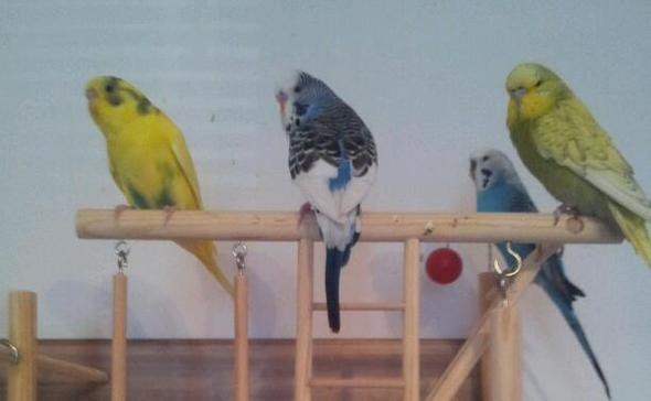 Flecki,Bobi,Knopfi & Buali(hinten) - (Wellensittich, Geschlecht)