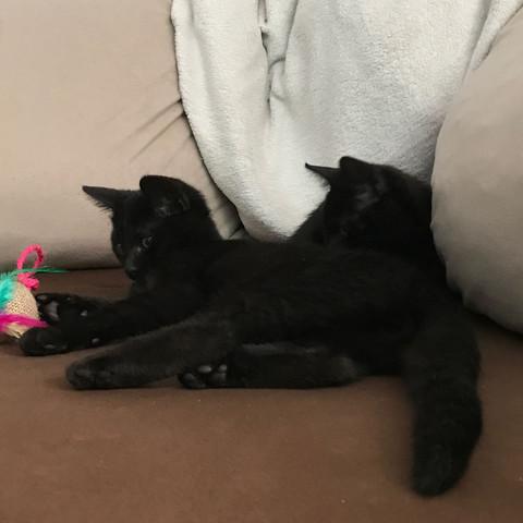 12 Wochen altes Geschwister Pärchen  - (Tiere, Gesundheit und Medizin, Katze)