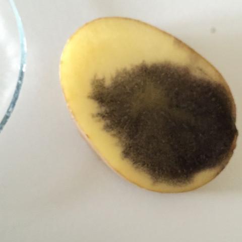 Kartoffel ist dunkler wie wenn man die Jodidlösung auf normales Stärkepulver tut - (Farbe, Kartoffeln, Stärke)