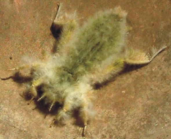 Libellenlarve - (Tiere, wassertiere, Libellen)