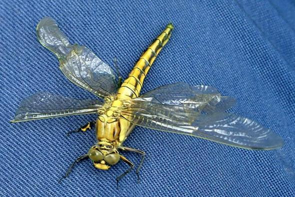 Fertige Libelle-2 - (Tiere, wassertiere, Libellen)