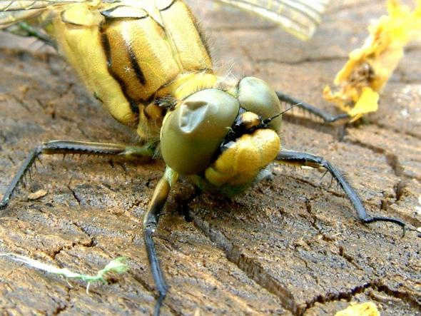 Fertige Libelle-3 - (Tiere, wassertiere, Libellen)