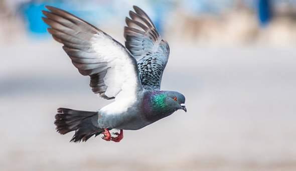 Wer fliegt besser? Tauben oder Raben?