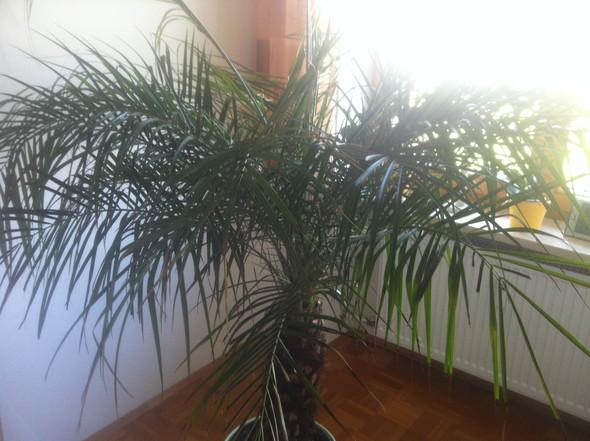 Palme - (Pflanzen, Natur, Palme)