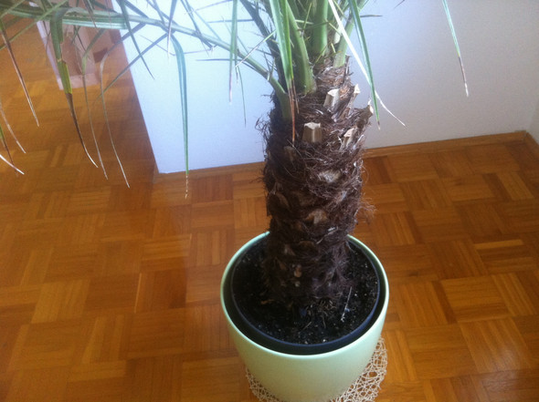 Palme1 - (Pflanzen, Natur, Palme)