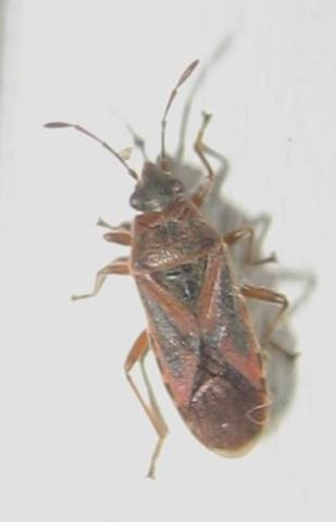 Wie heißt dieser Käfer Nr1 an Fensterrahmen lebend? - (Haus, Insekten, Schädlinge)