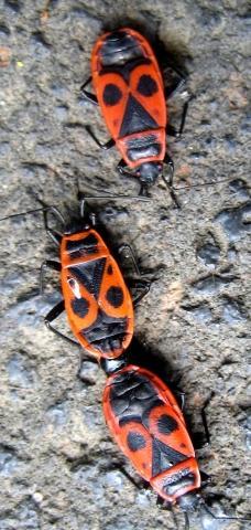 Wie heißt Käfer Nr 2 mit gesicht auf dem Rücken? - (Haus, Insekten, Schädlinge)