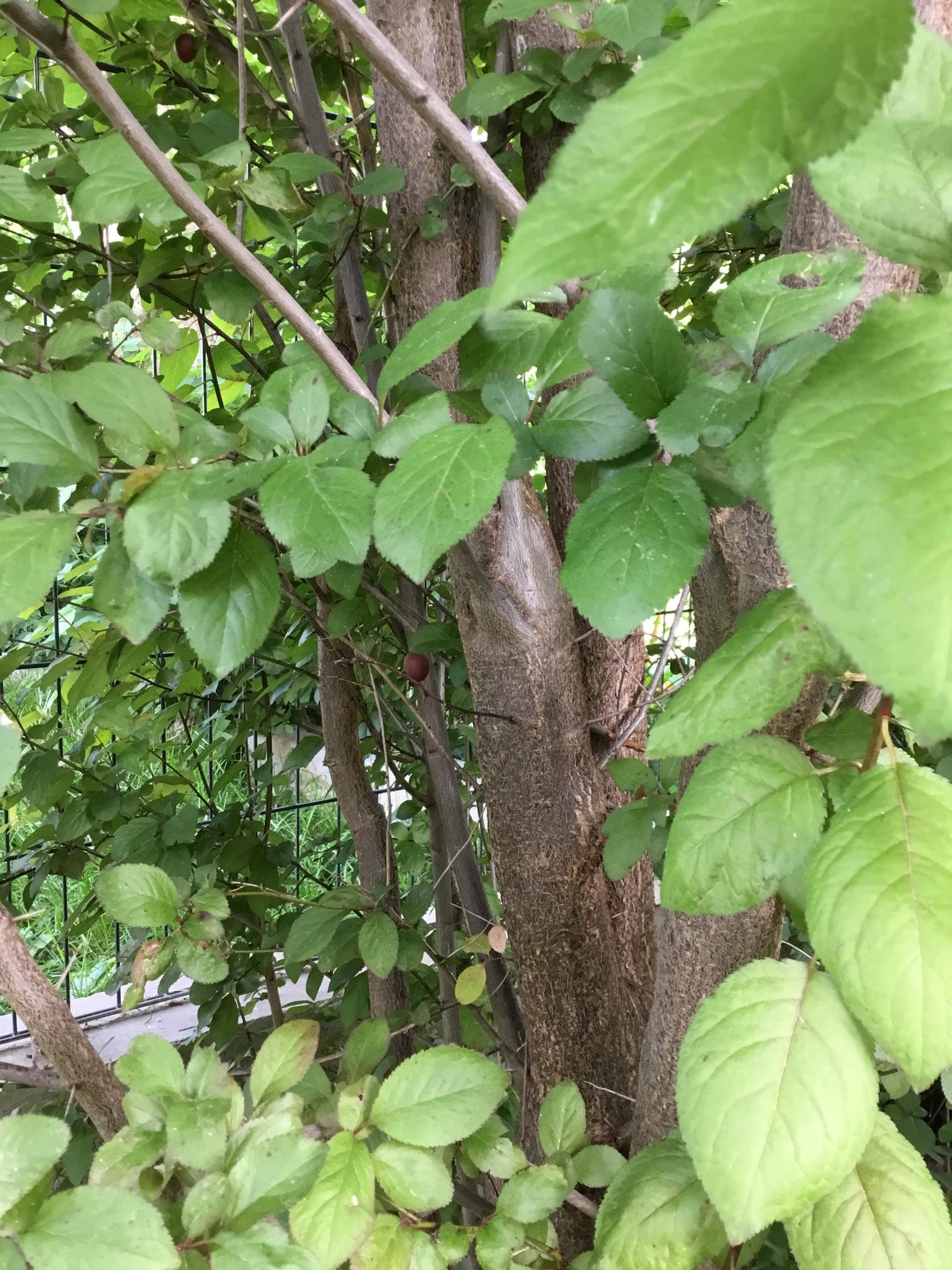 Wer kann mir diese Pflanze / Früchte bestimmen? (Pflanzen