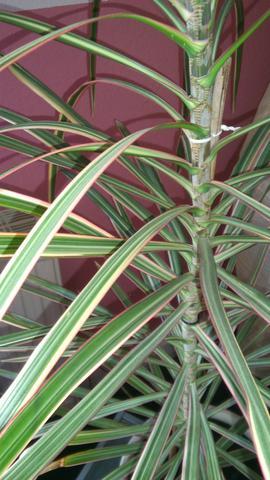 Wer kennt den Namen meiner Zimmerpflanze - Palme ...