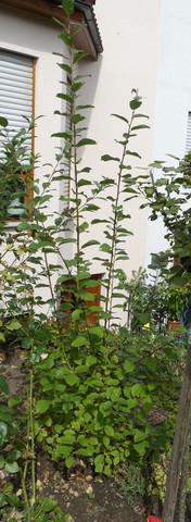 Gartenpflanze - (Baum, unbekannt, sträucher)