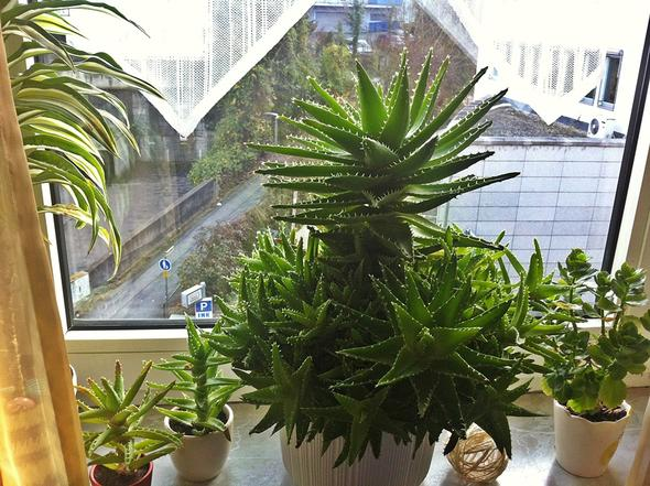 Wer kennt diese Aloe Vera Art?