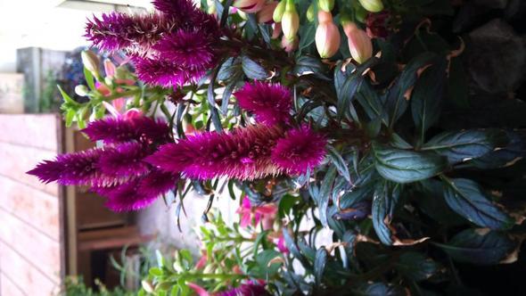 Balkonpflanze - (Garten, Pflanzen, Pflanzenbestimmung)