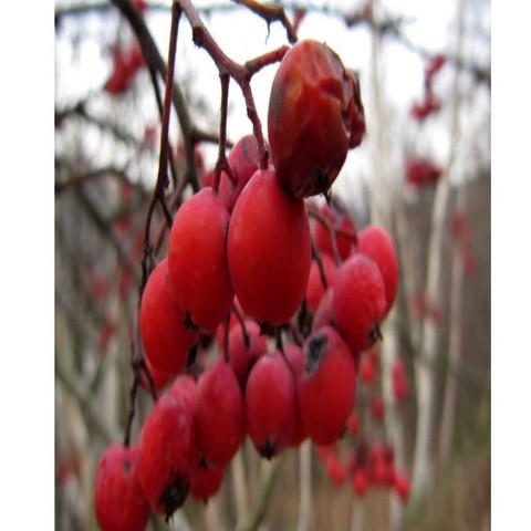 Beeren - (Garten, giftig)