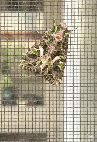 Wer kennt diese Motte oder Nachtfalter?