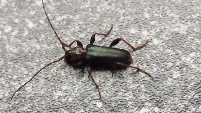 wer kennt diese netten tierchen und wie werde ich sie im haus los insekten k fer plage. Black Bedroom Furniture Sets. Home Design Ideas