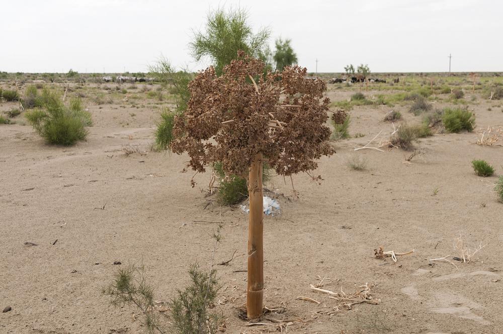 wer kennt diese pflanze aus der w ste kysylkum usbekistan. Black Bedroom Furniture Sets. Home Design Ideas