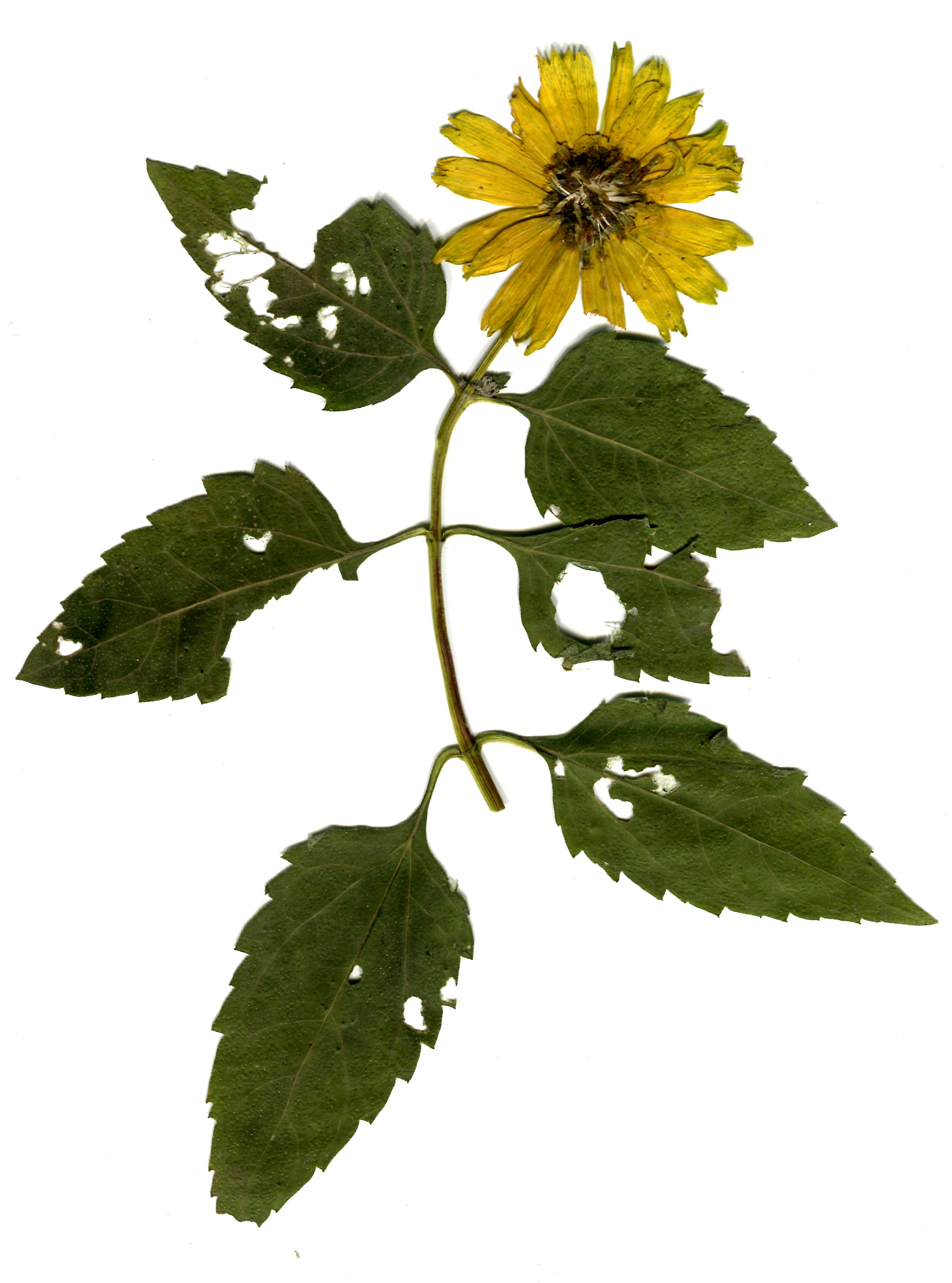 wer kennt diese pflanze herbarium mit bild bilder pflanzen. Black Bedroom Furniture Sets. Home Design Ideas