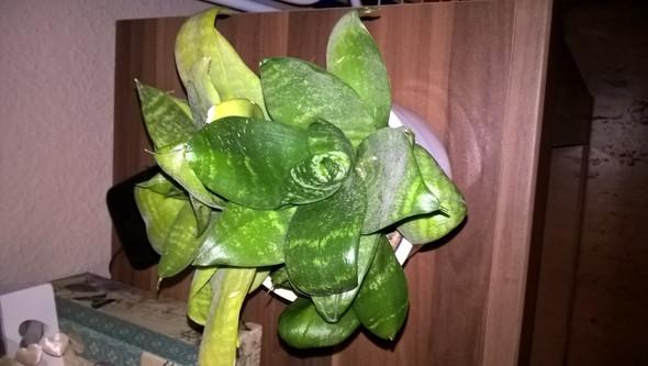 Bild 1 - (Pflanzen, Zimmerpflanzen)