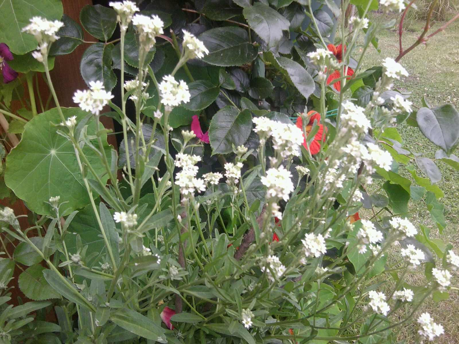 wer kennt diese pflanze wei nicht ob sie giftig ist oder eine gute pflanze garten pflanzen. Black Bedroom Furniture Sets. Home Design Ideas