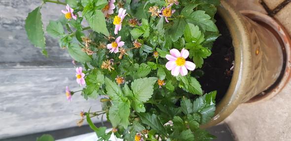 Wer kennt diese schöne Pflanze? Rosa Blüten ähnlich Erdbeeren?