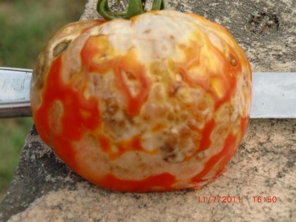Das ist die kranke Tomate - (Krankheit, Garten, Tomaten)