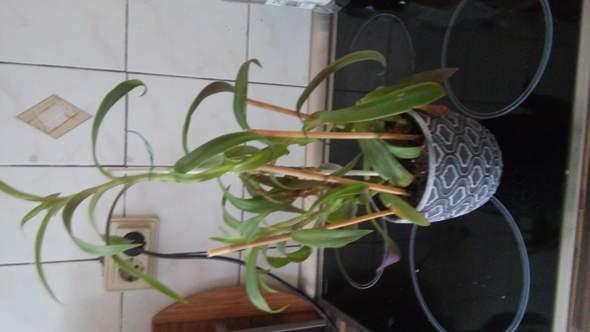 Wer kennt diese unbekannte (Zimmer-)Pflanze?