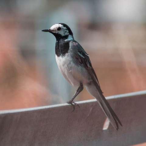 Wer kennt diese Vogelart aus DE (Siehe Bild)?