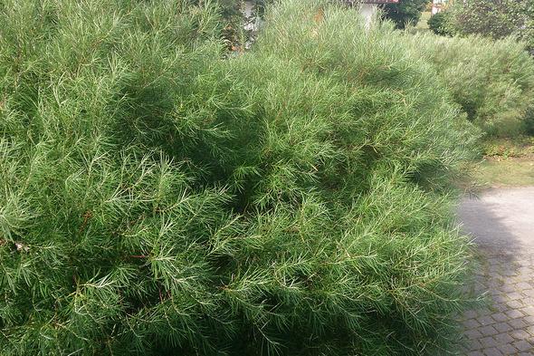 Foto vom Baum / Busch - (Garten, Pflanzen, Baum)