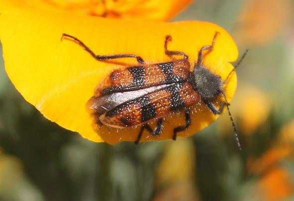 Wer kennt dieses orange-schwarze Insekt?